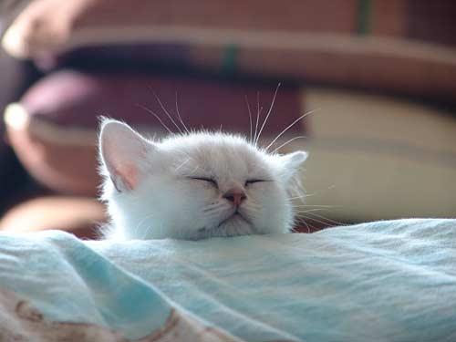 котенок серебристая шиншила